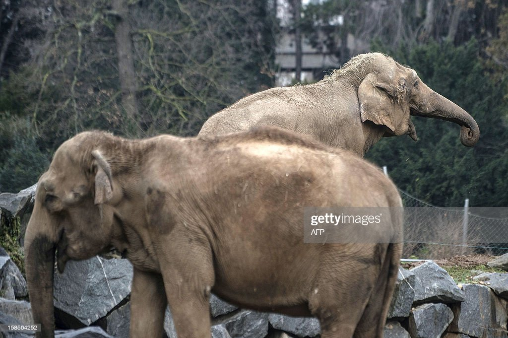 Baby and Nepal, two elephants suffering from tuberculosis, stand in their enclosure on December 19, 2012 at the Parc de la Tete d'Or Zoo in Lyon, central eastern France. The two ailing middle-aged elephants that French officials have wanted put down have been given a Christmas reprieve after an appeal to President Francois Hollande and an Internet campaign to save them.