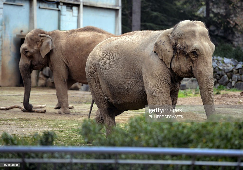 Baby and Nepal, two elephants suffering from tuberculosis, stand in their enclosure, on January 6, 2013 at the 'Parc de la Tête d'Or' Zoo in Lyon, central eastern France. The two ailing middle-aged elephants that French officials have wanted put down have been given a Christmas reprieve after an appeal to President Francois Hollande and an Internet campaign to save them. AFP PHOTO/PHILIPPE DESMAZES