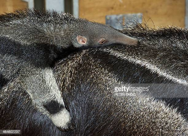A baby anteater lays on the back of its mother 'Stella' on January 23 2014 at the zoo in Halle eastern Germany The baby anteater that was born on...