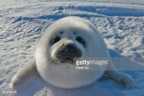 Baby Arctic Seal In Canada
