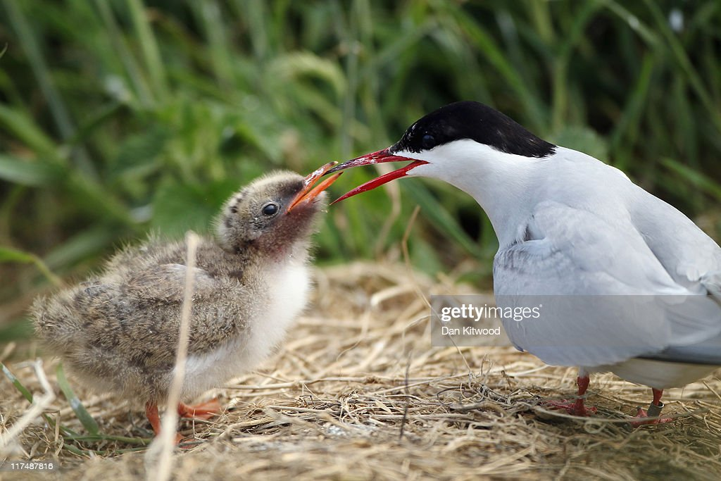 A Baby Arctic Tern receives food from a parent on June 25, 2011 on Inner Farne, England. The Farne Islands, which are run by the National Trust, are situated two to three miles off the Northumberland coastline. The archipeligo of 16-28 separate islands (depending on the tide) make the summer home to approximately 100,000 pairs of breeding seabirds including around 36,000 Puffins, 32,000 Guillemots and 2,000 pairs of Arctic Terns. The species of birds which nest in internationally important numbers include Shag, Sandwich Tern and Arctic Tern. The coastline around The Farnes are also the breeding ground to one of Europe's largest Grey Seal colonies with around 4,000 adults giving birth to 1500 pups every year.