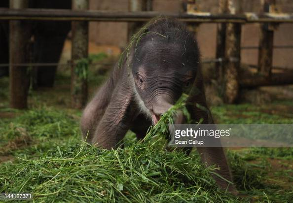A baby Asian elephant born only two days before explores his enclosure at Tierpark Berlin zoo on May 10 2012 in Berlin Germany The male elephant calf...