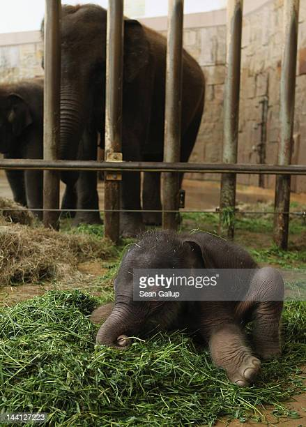A baby Asian elephant born only two days before gets used to his wobbly legs while exploring his enclosure at Tierpark Berlin zoo on May 10 2012 in...