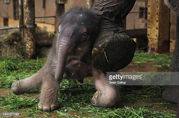 A baby Asian elephant born only two days before slips on his wobbly legs and gets support from his mother Nova in his enclosure at Tierpark Berlin...