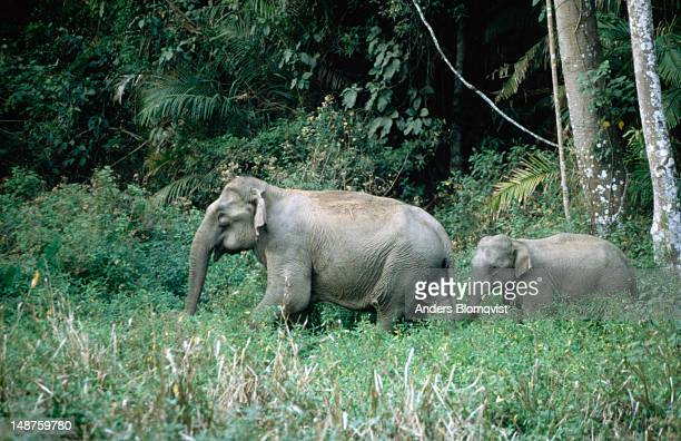 A baby Asian elephant (Elephas maximus) follows its mother through the Khao Yai forest