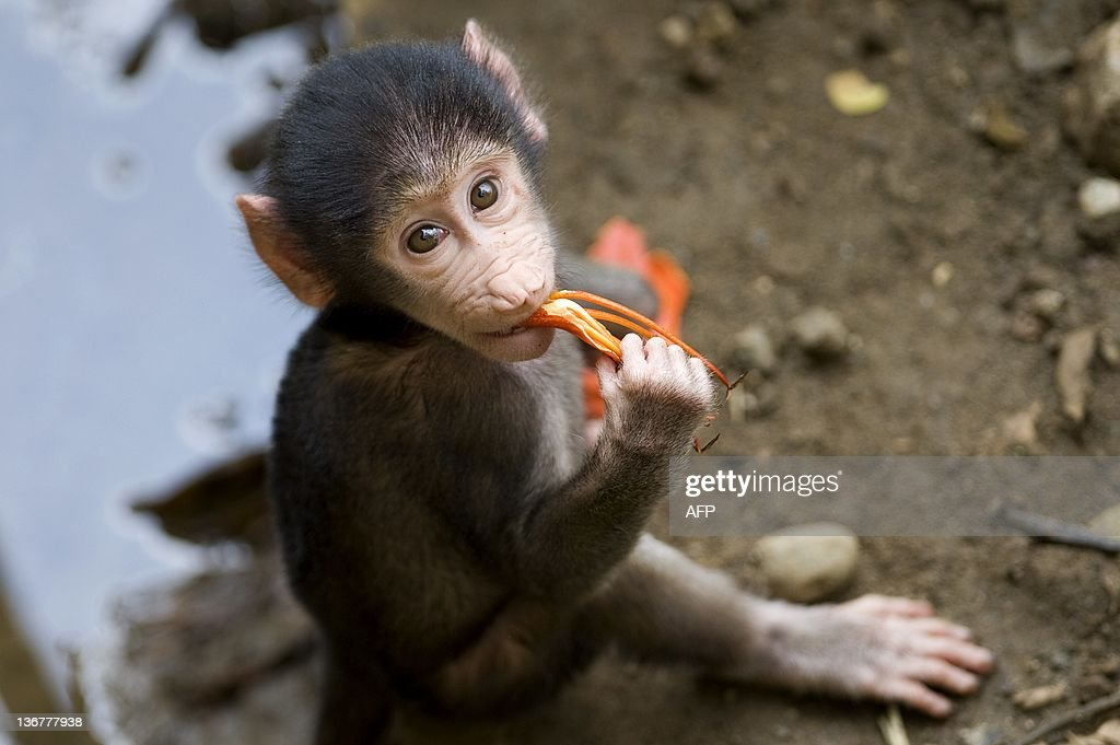 A baby baboon monkey born in captivity two months ago eats a flower at the zoo in Cali Valle del Cauca department Colombia on January 11 2012 AFP...
