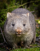 A close up portrait of a baby bare nosed wombat (Vombatus ursinus)