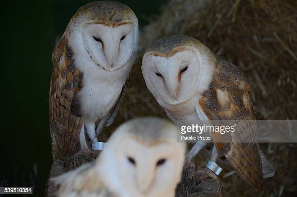A baby Barn owl pictured with its parents at Madrid zoo