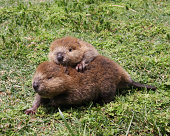 2 baby beavers playing in the grass