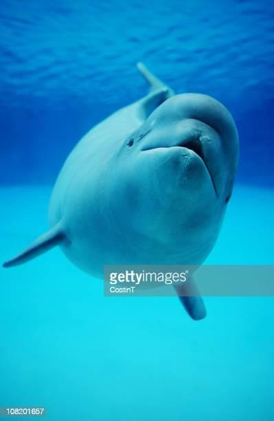 Baby Beluga Whale Swimming in Aquarium