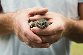 A man holds a young robin, as it recovers from flying into a window.