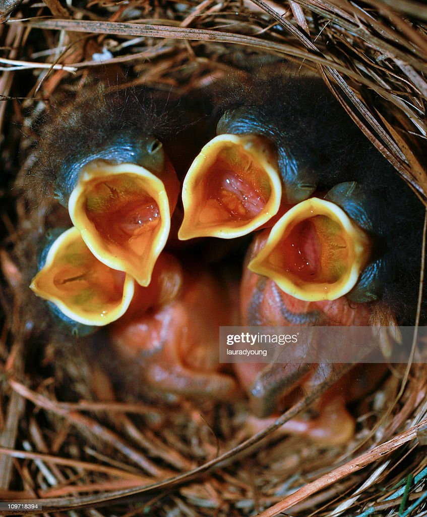 Baby Birds in Nest with Mouths Open : Stock Photo