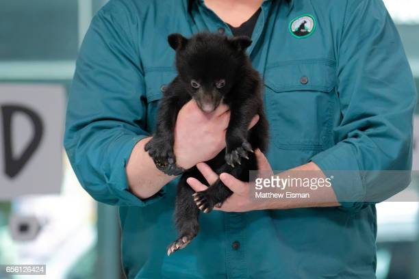 A baby black bear attends Build Series presents David Mizejewski discussing 'Pet Talk' at Build Studio on March 21 2017 in New York City