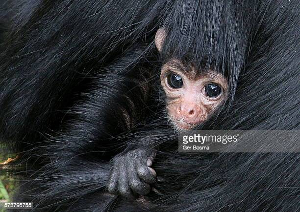 Baby Black Headed Spider Monkey
