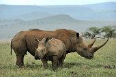 """Black rhinoceros baby and mother, Lewa, Kenya"""