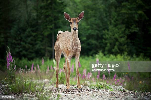 Baby Black-tailed Deer stands in a clearing.