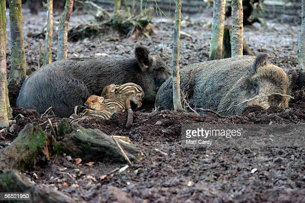 Baby boars snuggleup to adults at the Woodland Wild Boar Farm after the first boar hunt in the UK for 300 hundred years in the village of West Antsey...