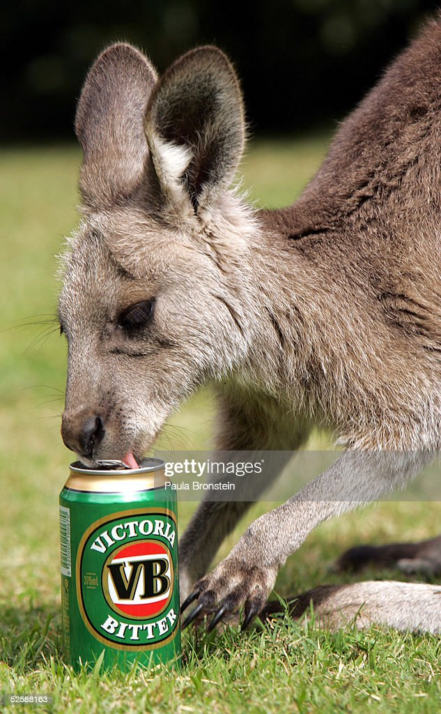 'Baby Boomer' an eleven month old Eastern Grey Kangaroo enjoys his favorite drink a can of VB beer at the Comet Inn April 1 2005 in Hartley Vale...