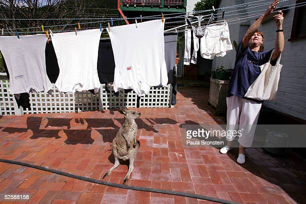 'Baby Boomer' an eleven month old Eastern Grey Kangaroo watches as the laundry gets put on the line by Judy Teitzel at the Comet Inn April 1 2005 in...