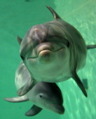 Baby bottlenose dolphin Doerte and her mother Delphi swim through their basin on October 18 2011 at the zoo in Duisburg western Germany Doerte almost...