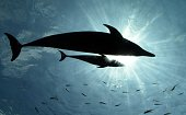 A baby bottlenose dolphin swims beside his mother at the Hakkeijima Sea Paradise aquarium in Yokohama suburban Tokyo on July 20 2015 The...