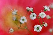 Baby breath flowers (Gypsophila paniculata), close-up