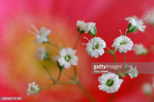 Baby breath flowers (Gypsophila paniculata), close-up
