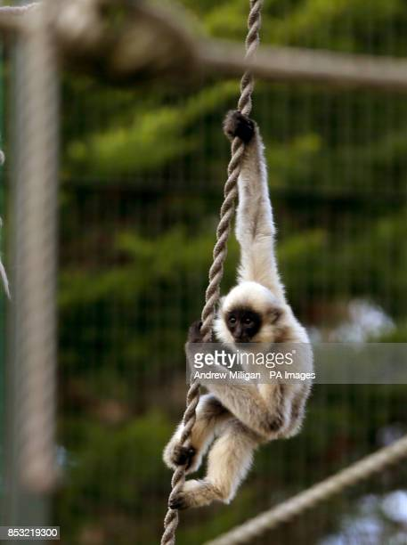 A baby buffcheeked gibbon explores its enclosure at Edinburgh Zoo which is home to six buffcheeked gibbons