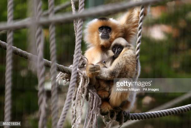 A baby buffcheeked gibbon with his mother Lucy in their enclosure at Edinburgh Zoo which is home to six buffcheeked gibbons