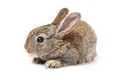 Baby Bunny on white background