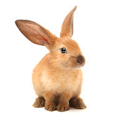 One Baby Bunny looking at camera isolated on white
