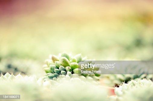 Baby cactus : Stock Photo