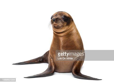 Baby California Sea Lion looking away