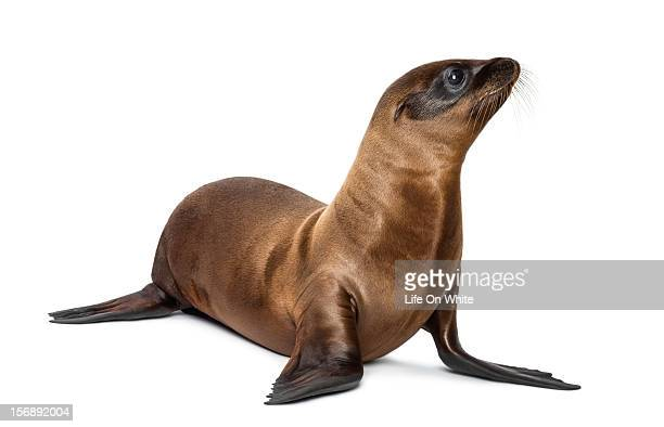 Baby California Sea Lion looking up