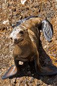 Baby california sea lion
