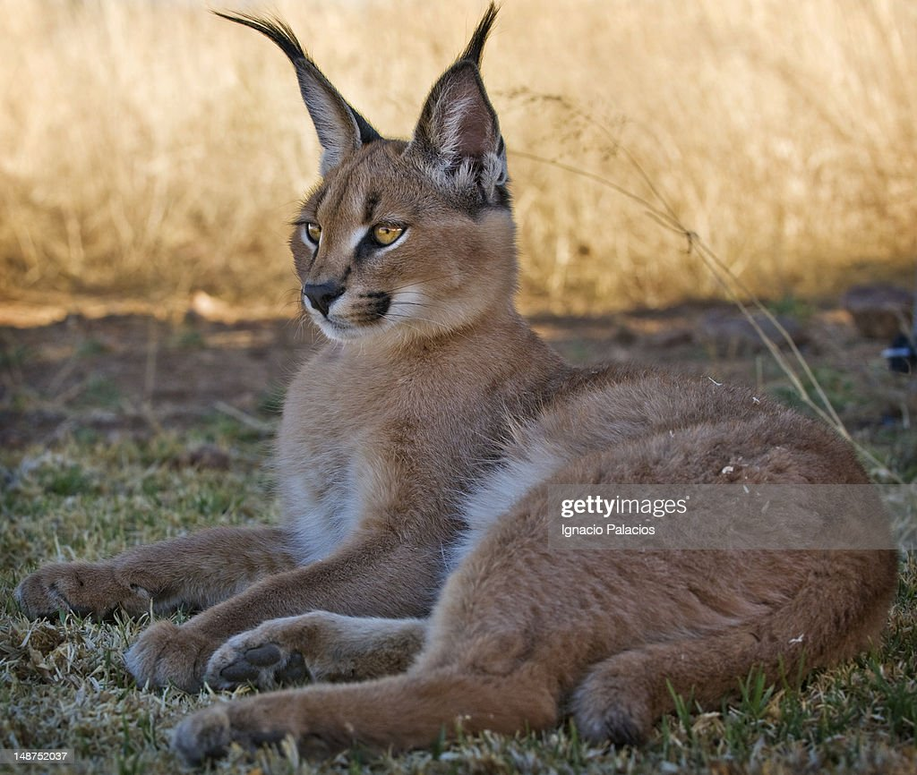 Lynxstride of Hawkclan Baby-caracal-in-wildlife-sanctuary-picture-id148752037