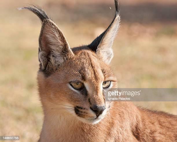 Baby Caracal (African Lynx) in wildlife sanctuary.
