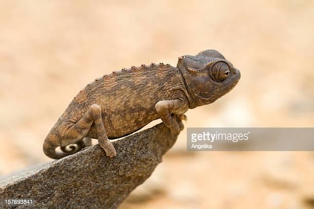 Caméléon bébé, Namibie, désert du Namib