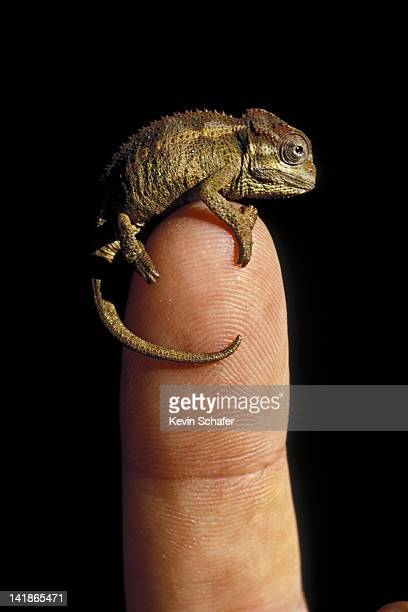 Baby Chameleon on human finger. Chameleo sp. Kenya