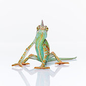 Portrait of green baby chameleon staring at camera against white background. Square studio photography from a DSLR camera. Sharp focus on eyes.