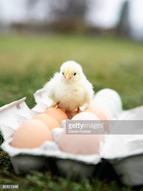 Baby chick on colored eggs in egg carton