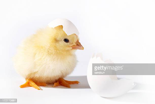 A baby chicken hatches from its egg