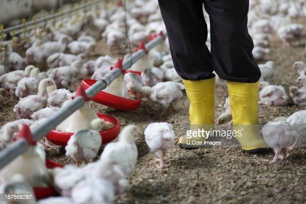 Baby Chickens in the Chicken Farm