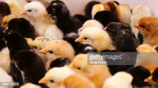 Baby Chickens Stock Photo Thinkstock