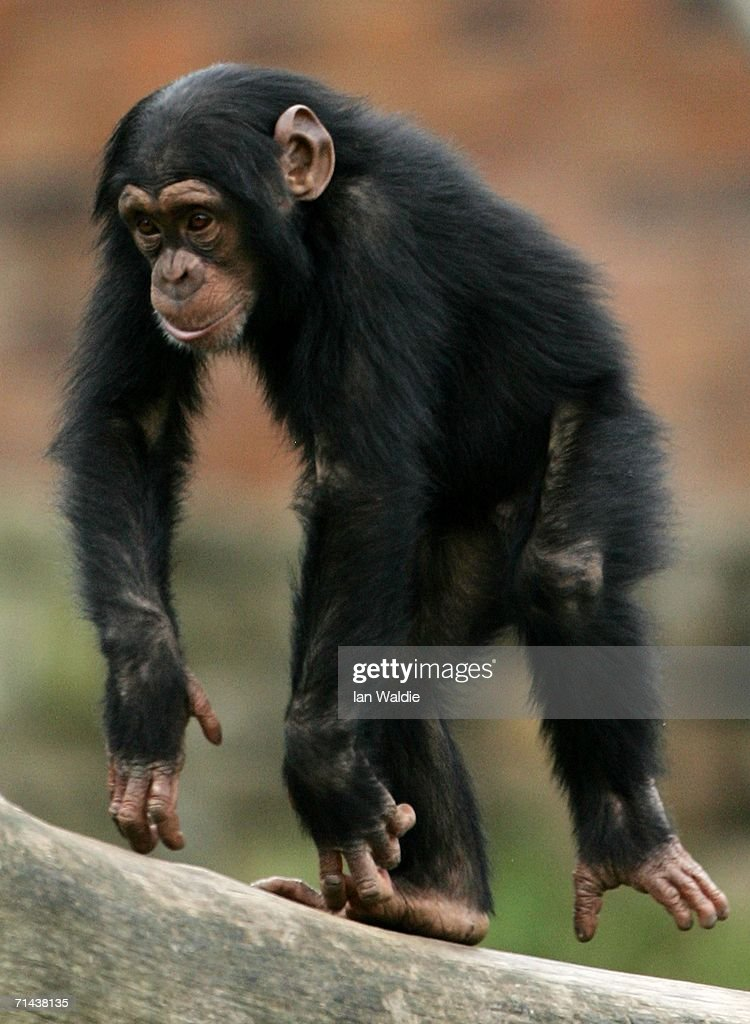 A baby Chimpanzee plays in its enclosure at Taronga Zoo July 14, 2006 in Sydney, Australia. Primatologist Dr Jane Goodall visited the zoo to raise awareness of the plight of wild Chimpanzees. The zoo's colony of Chimps includes several family groups, and three of the oldest Chimpanzees in zoos.