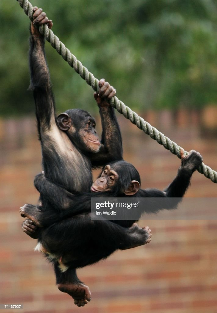Baby Chimpanzees play in their enclosure at Taronga Zoo July 14, 2006 in Sydney, Australia. Primatologist Dr Jane Goodall visited the zoo to raise awareness of the plight of wild Chimpanzees. The zoo's colony of Chimps includes several family groups, and three of the oldest Chimpanzees in zoos.