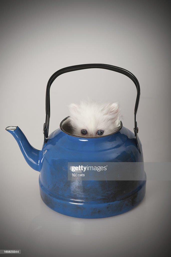 baby chinchilla : Stock Photo