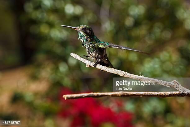 baby colibri. costa rica
