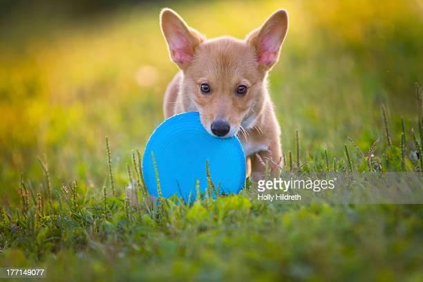 Baby corgi plays fetch