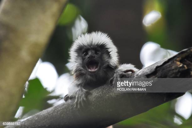 A baby cotton top Tamarin clings on a tree branch at Wildlife Reserves Singapore zoo on February 15 2017 Jurong Bird Park Night Safari River Safari...